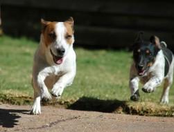 Когда впервые были организованы бои с собаками и какого рода опасность в себе таит албай?