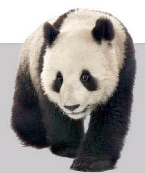 Панды не всегда готовы стать отцами. Секрет потенции панд