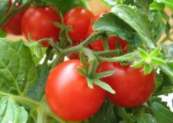 «Жирные» томаты по вкусу любому огороднику
