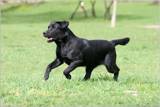 Какого типа приказы без труда может уяснить пес и о чем надлежит не забывать при воспитании лабрадора?