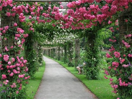 Как сохранить саженцы плетистых роз до весны?